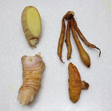 fresh rhizomes of ginger, fingerroot, galangal, and turmeric