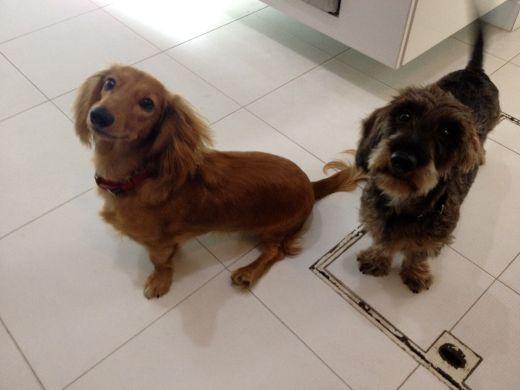 long-hair and wire-hair dachshund